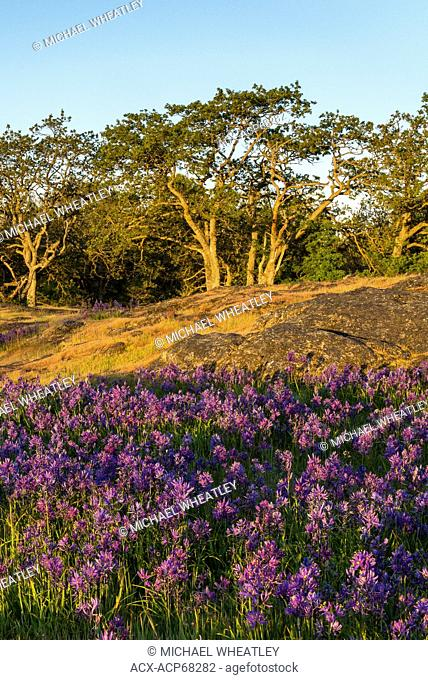 Camas in Garry Oak meadow at sunrise, Uplands Park, Oak Bay, (Victoria), British Columbia, Canada