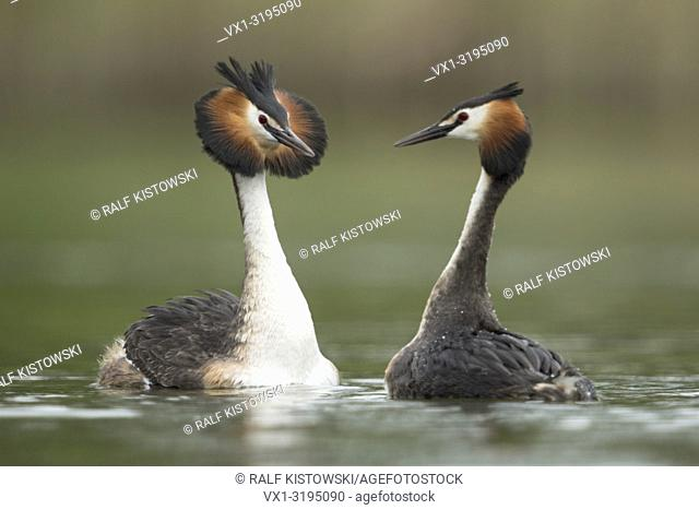 Great Crested Grebe (Podiceps cristatus) courting, swimming breast to breast, shaking their heads, impressing their mate, Europe