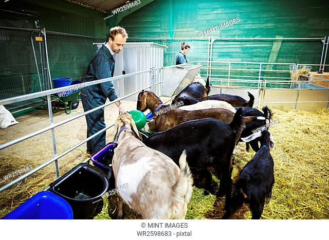 Woman and man feeding a small herd of goats in a stable