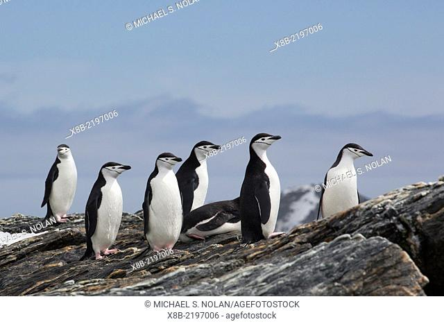 Adult chinstrap penguins, Pygoscelis antarctica, at breeding colony on Coronation Island, South Orkney Islands, Antarctica
