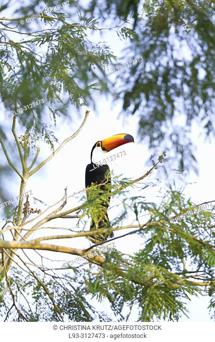 Toco Toucan, Ramphastos toco, in the nature habitat, Pantanal, Brazil