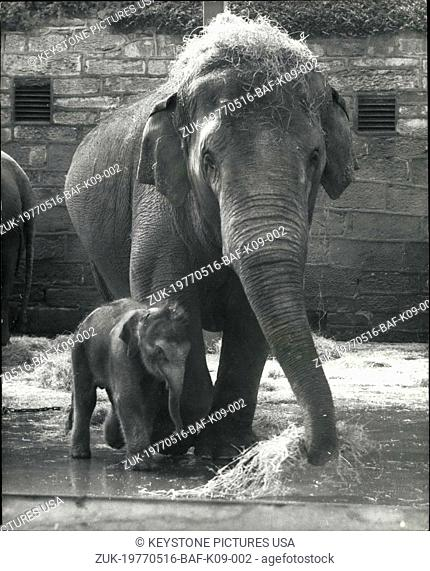 May 16, 1977 - 18 Stone Baby Elephant Born at The Chester Zoo: An 18-stone baby with a webble in his walk meet the public floor the first time last week