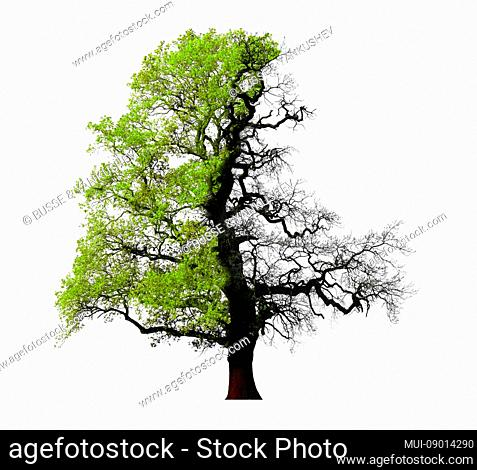 Oak, one side with green foliage, one side bare