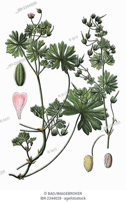 Small-flowered cranesbill (Geranium pusillum), medicinal plant, historic chromolithography, about 1796