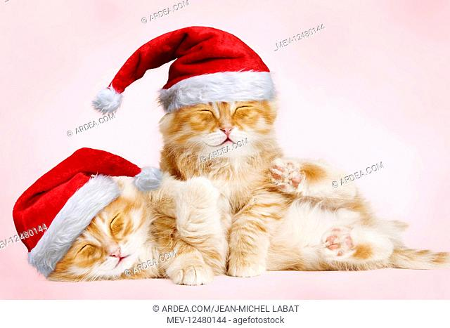 Siberian Cat, kittens cuddling and smiling wearing
