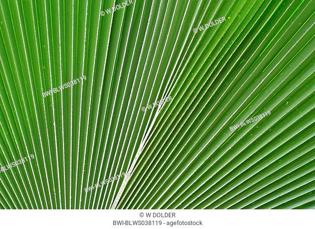coconut palm Cocos nucifera, leaf, Kenya
