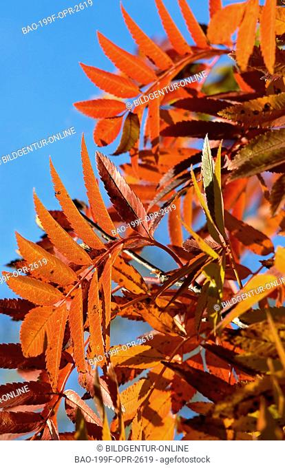 This stock photo shows a tree detail of red autumn leaves against the blue sky. The light is shining through the leaves revealing the bright red color of the...