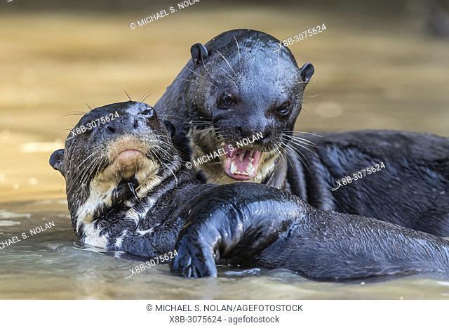 Giant river otters, Pteronura brasiliensis, near Puerto Jofre, Mato Grosso, Pantanal, Brazil