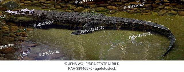 Das Nil-Krokodil Theophila schwimmt am 11.04.2013 im Wasserwerk in Colbitz (Sachsen-Anhalt). Das Reptil aus der Republik Mali kam 1974 als Gastgeschenk der...
