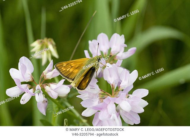 Essex Skipper, Thymelicus lineola, similar to the Small Skipper but the tips of the antennae are black. Orangish skipper with black edge border to wings