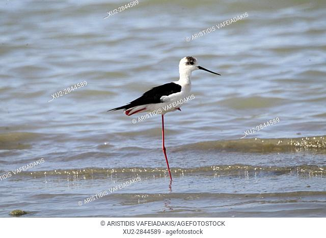 White-headed Stilt (Himantopus himantopus leucocephalus) wading in shallow water in the lagoon of Mesologgi Greece