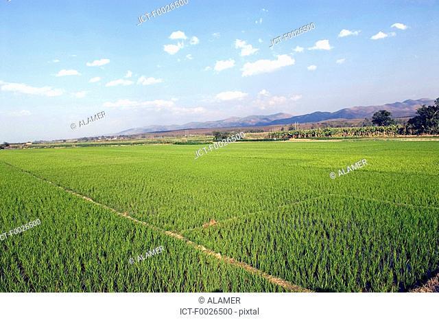 China, Yunnan, Xishuangbanna, near Damenglong, ricefield