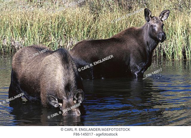 Mooses (Alces alces). Yellowstone National Park. Wyoming. USA