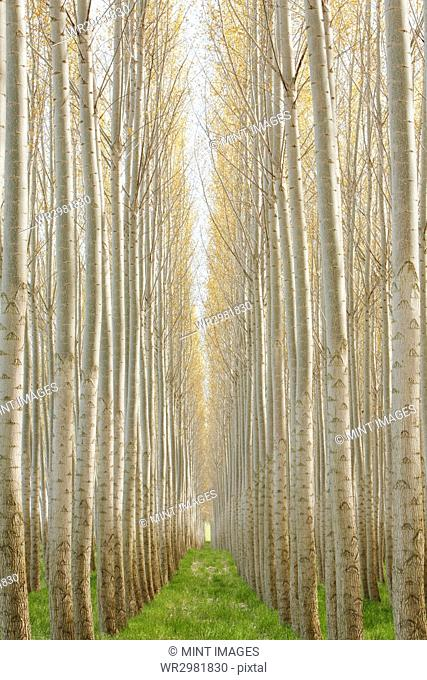 Rows of commercially grown poplar trees