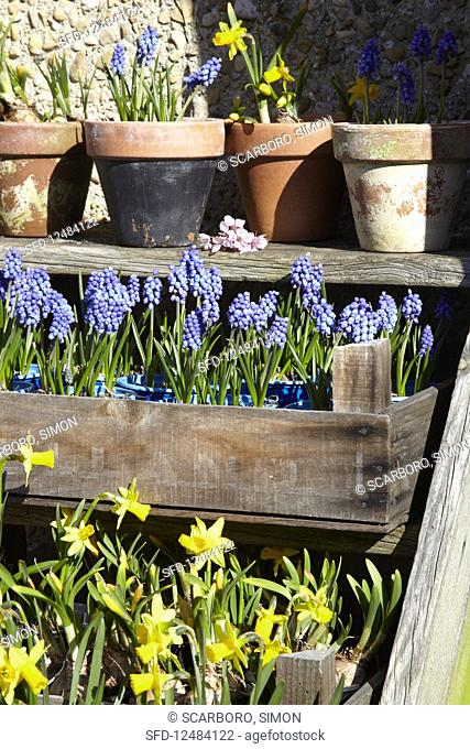 Grape hyacinths and narcissi in pots and a wooden crate