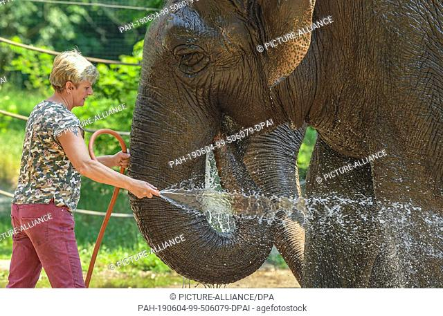 04 June 2019, Brandenburg, Cottbus: Karin Lehnert, animal keeper at Cottbus Zoo, stands with a water hose in front of the Asian elephant Karla