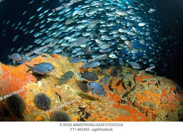 School of demoiselles (Chromis dispilus) in archway. Blue Maomao Arch. Poor Knights Islands, New Zealand. South Pacific Ocean