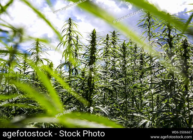 A maze made of marijuana plants in the town of Bressanone, South Tyrol, Italy