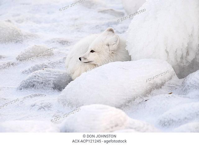 Arctic fox (Alopex, Vulpes lagopus) Resting, concealed among ice-coated shoreline rocks