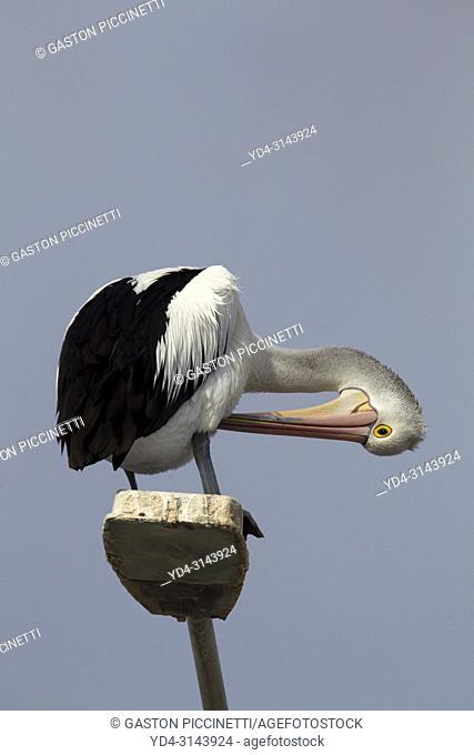 Australian Pelican (Pelecanus conspicillatus), on the light, American River, Kangarro Island, South Australia, Australia
