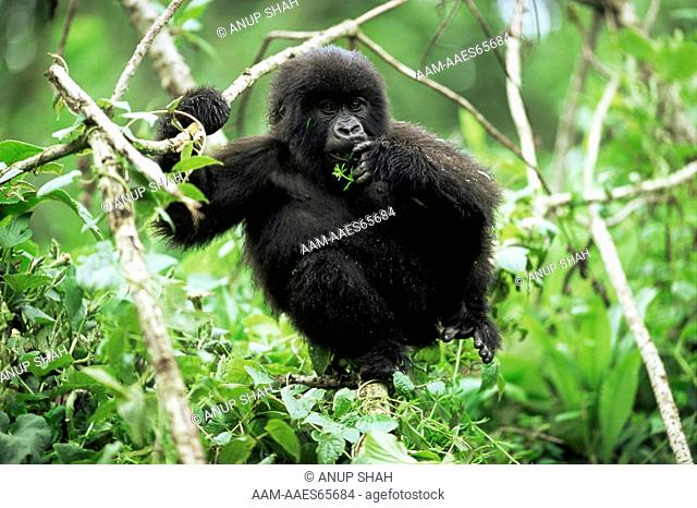 Juvenile Mountain Gorilla feeding on vegetation (Gorilla gorilla beringei) Parc du Volcans National Park, Rwanda