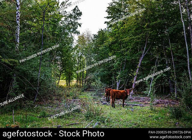 """19 August 2020, Baden-Wuerttemberg, Kappel-Grafenhausen: There are two cattle in the forest. On the so-called """"""""wild pastures"""""""" near Kappel-Grafenhausen"""