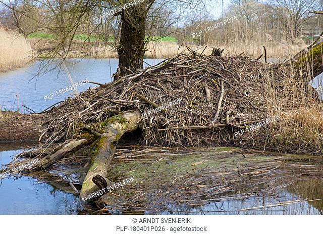 European beaver (Castor fiber) lodge in the Elbe Valley, Lower Saxony, Germany