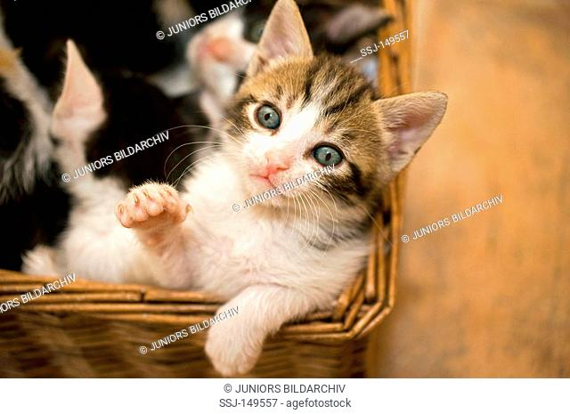 kitten seven weeks in basket restrictions: Tierratgebebücher, Kalender / animal guidebooks, calendars