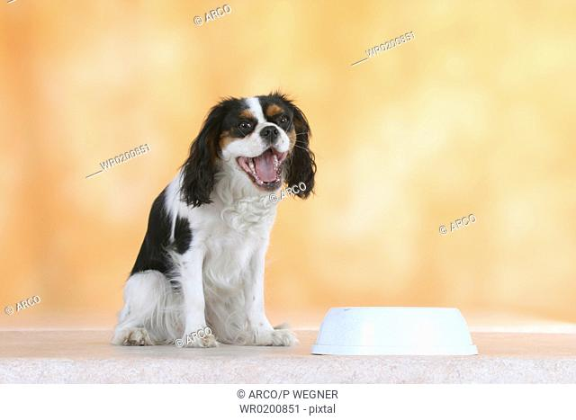 Cavalier, King, Charles, Spaniel, tricolor, next, to, feeding, bowl