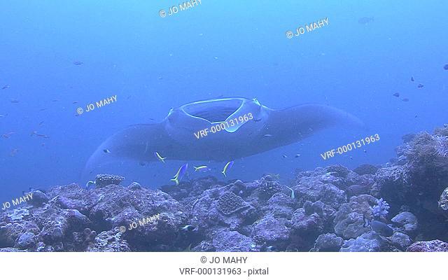 Manta ray Manta Biristrishovers, shows gills, Indian ocean, Maldives