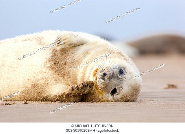 Grey Seal Halichoerus grypus pup November Donna Nook, Lincolnshire, UK
