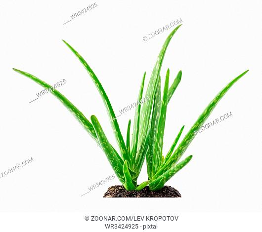 Aloe vera plant succulent with soil isolated on white background
