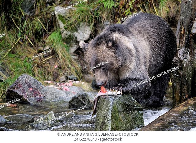 Grizzly Bear (Ursus arctos horribilis) eating Salmon eggs, Glendale river, Canada