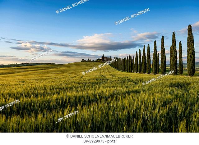 Cypress avenue, evening light, Val d'Orcia, UNESCO World Heritage Site, near San Quirico d'Orcia, Province of Siena, Tuscany, Italy