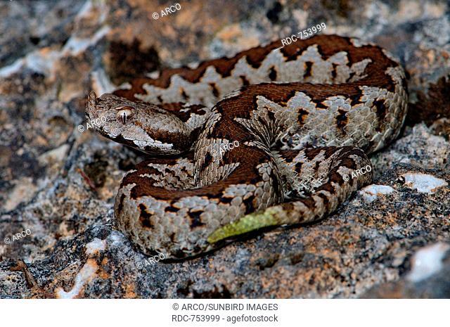 Juvenile Long-nosed Viper