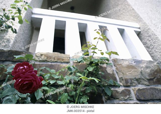 A red rose in the garden in front of a house