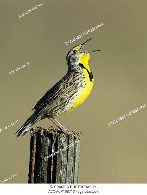 Western Meadowlark, Sturnella neglecta, singing, Saskatchewan, Canada