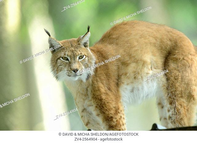 Close-up of a Eurasian lynx (Lynx lynx) in a forest in spring, Bavaria, Germany