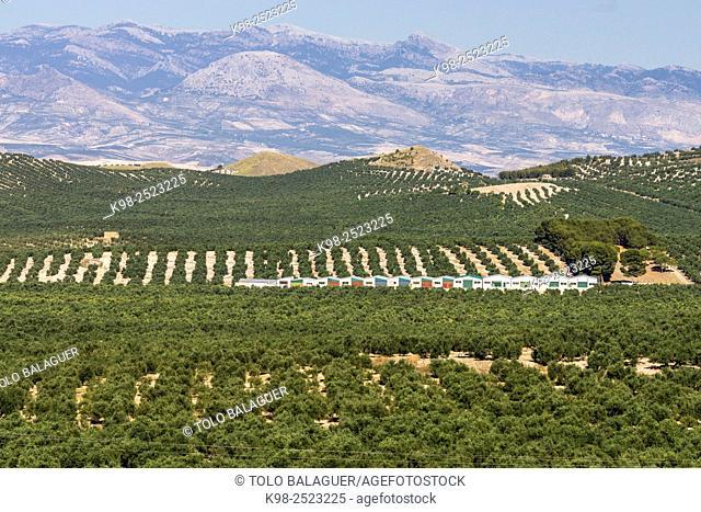 olivares de la loma de Ubeda, Jaen, Andalucia, spain, europe