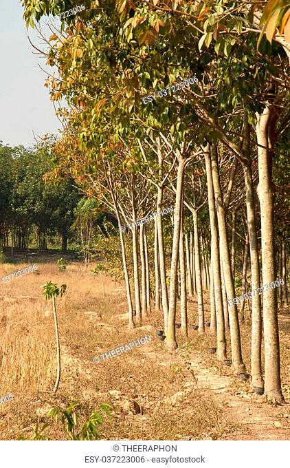Rubber trees Nong Khai Province at Thailand
