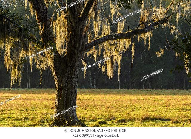 Large southern live oak and spanish moss, Abbeville, Louisiana, USA
