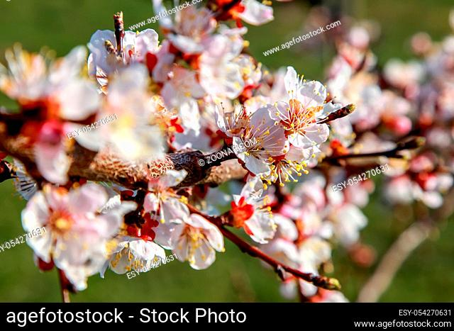 Blooming apricot tree in spring time. Blossoming apricot flowers. Flowering apricot tree in Latvia. Apricot tree flowers in spring time