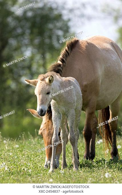 Przewalskis Horse or Takhi (Equus ferus przewalskii) in the wildlife center of the Hortobagy National Park. Mare with foal