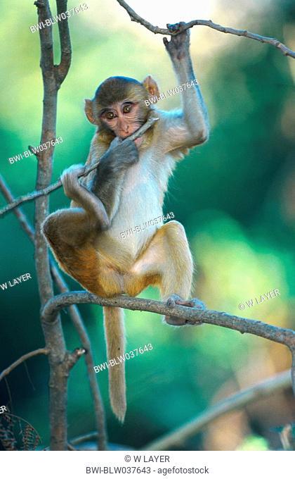 rhesus monkey, rhesus macacque Macaca mulatta, single cub, climbing in branches, India, Uttar Pradesh, Corbett Np