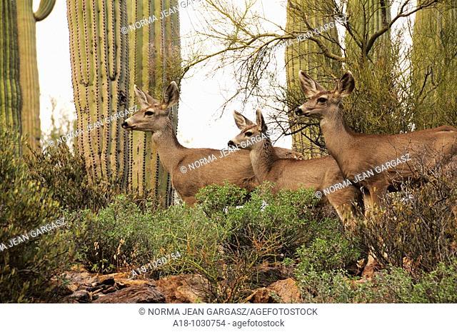 Mule deer, Odocoileus hemionus, in the Tucson Mountains near Gates Pass in Tucson Mountain Park, Sonoran Desert, Tucson, Arizona, USA