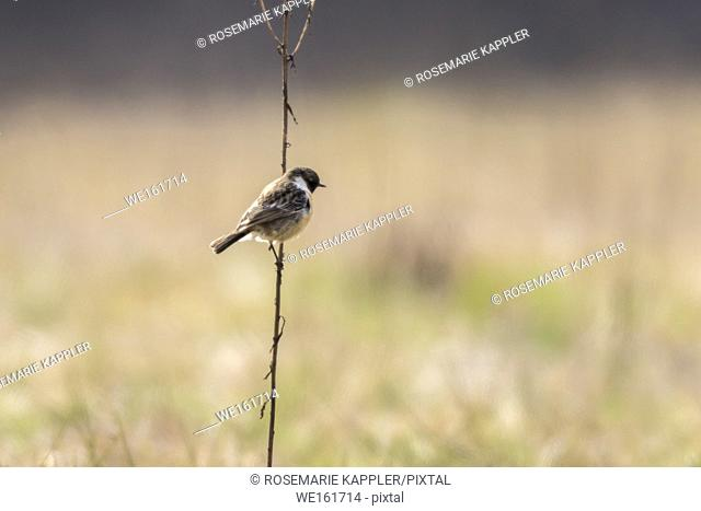 Germany, Saarland, Homburg - A stonechat on his vantage point