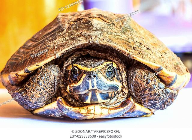 Turtle in the shell