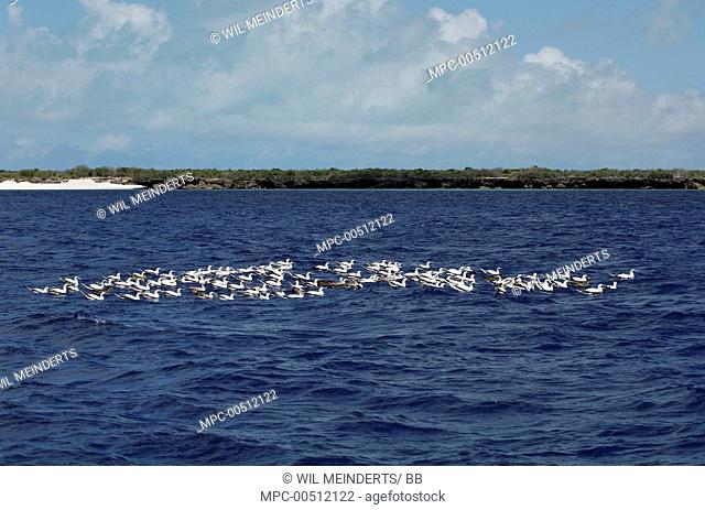 Red-footed Booby (Sula sula) flock on water, Aldabra, Seychelles