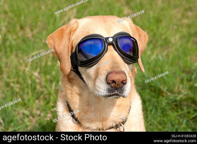 Labrador Retriever dog waering special sunglasses for dogs. Germany