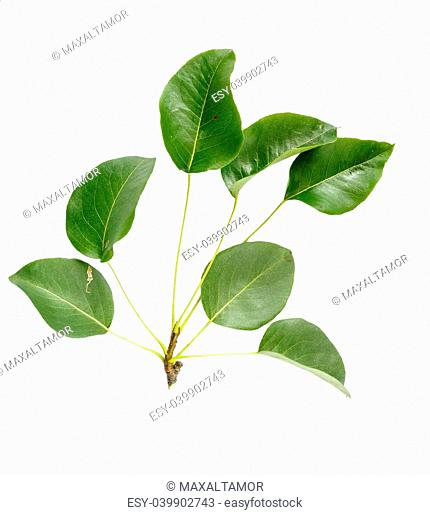 Seven green Pear tree leaves on white background